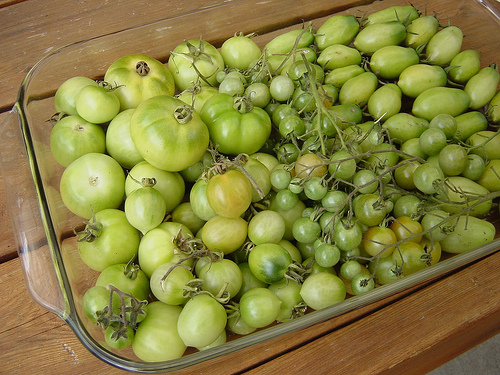 Ripen Green Tomatoes indoors