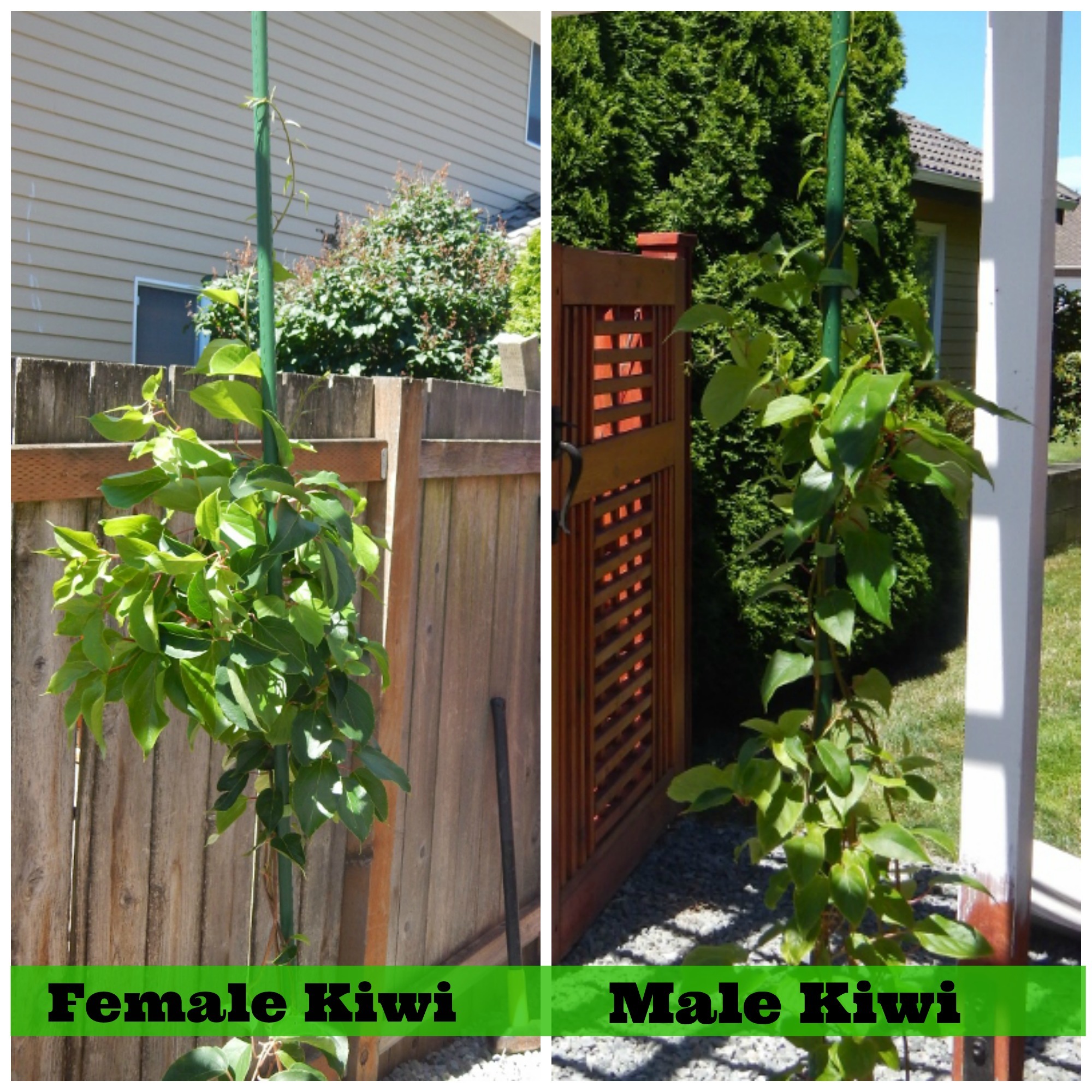 Growing Kiwi in the NW