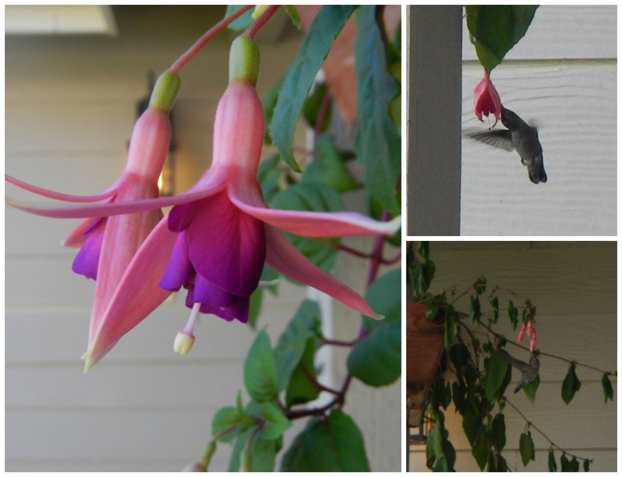 Flowers For Hanging Baskets That Attract Hummingbirds : How to attract care for hummingbirds includes homemade