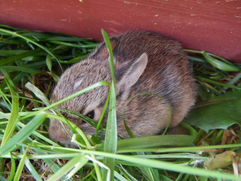 Baby Cottontail Bunny