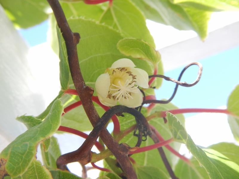 Hardy Kiwi Blossom - Opens