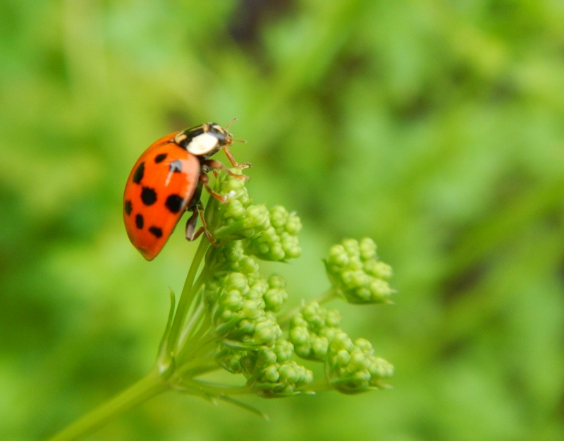 Ladybug on Parsley