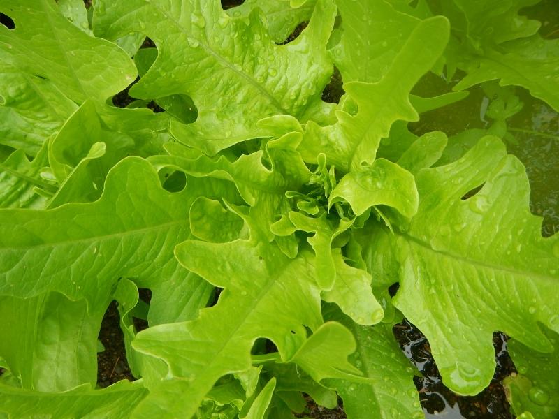 Organic Loose Leaf Lettuce