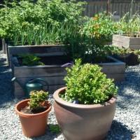 First of July Garden Update: Flowers, Pumpkin Progress, First Goji!