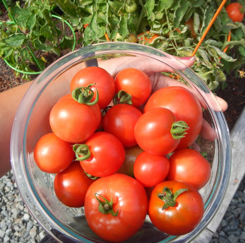Fresh Picked Garden Tomatoes