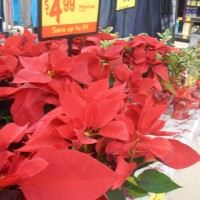 My Grocery Outlet Finds for December: First Aid Care, Poinsettias, Havarti & More!