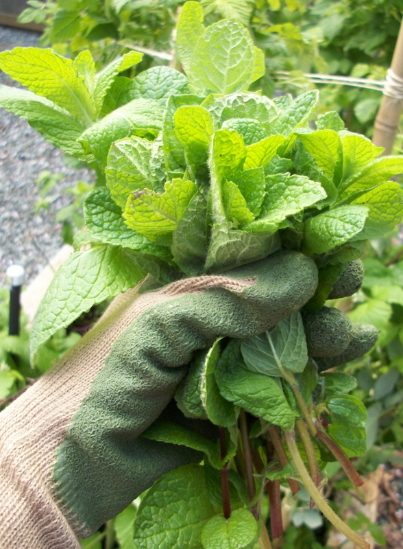 Growing mint in a container keeps it from spreading throughout your yard or garden.
