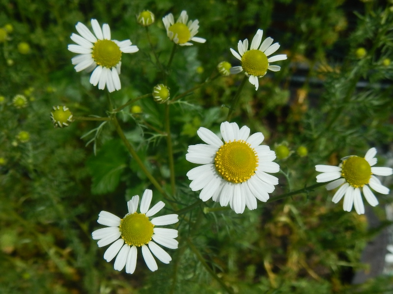 Growing chamomile in a container keeps it from spreading throughout your garden.