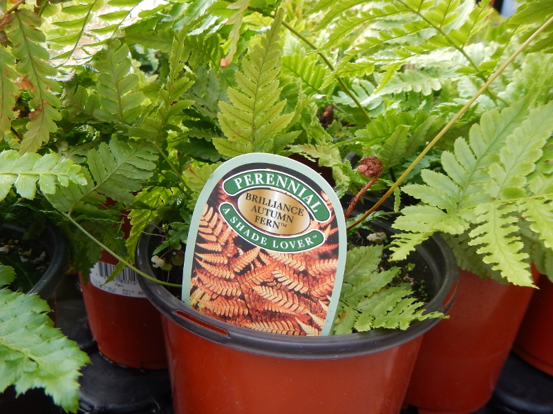 Ferns are great for shady container gardens.