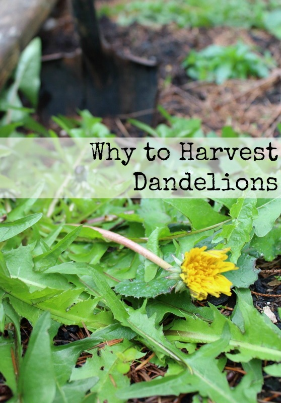 Why to Harvest Dandelions