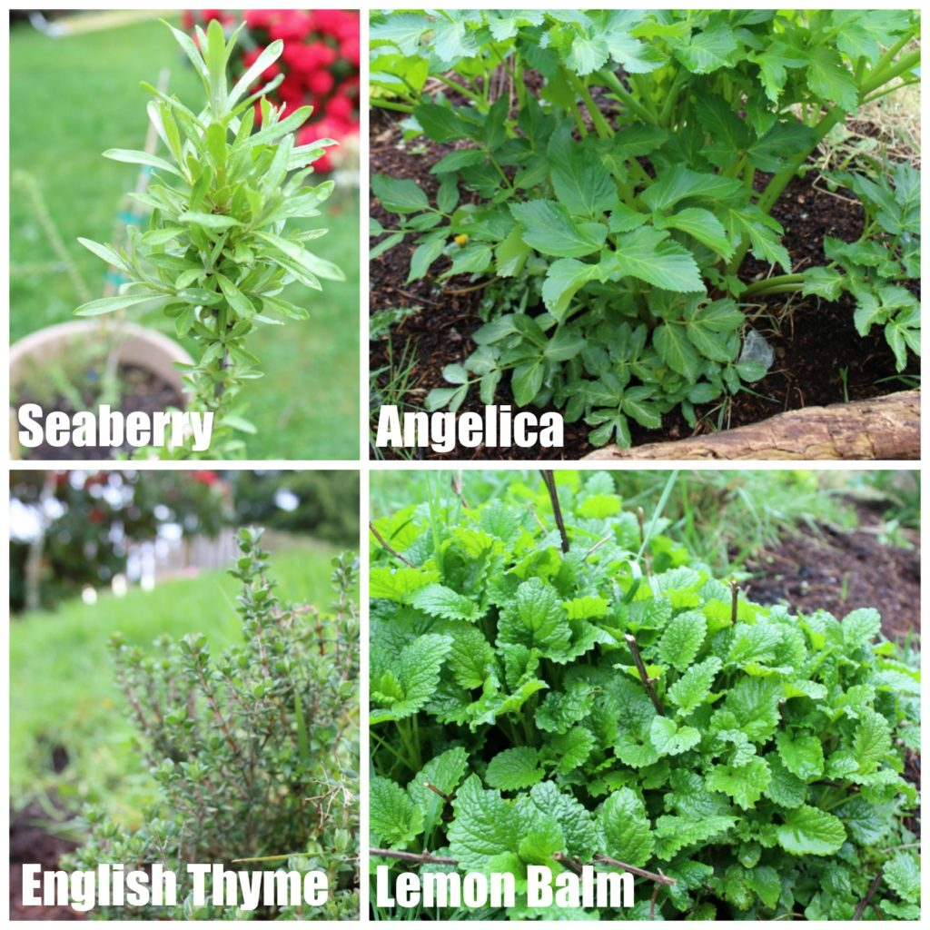 Perennial Herbs in the Garden