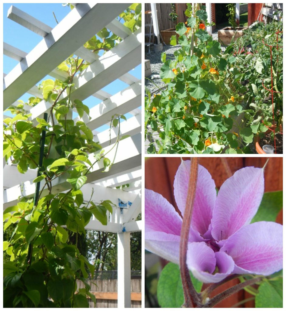 Flowering and fruiting vines can grow happily in container gardens.