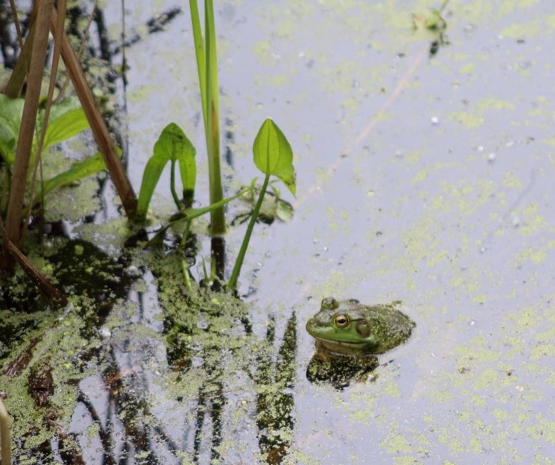 Bullfrog at Nisqually Wildlife