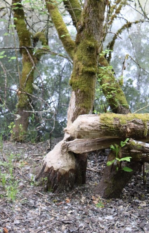 Beavers at Nisqually Wildlife Refuge