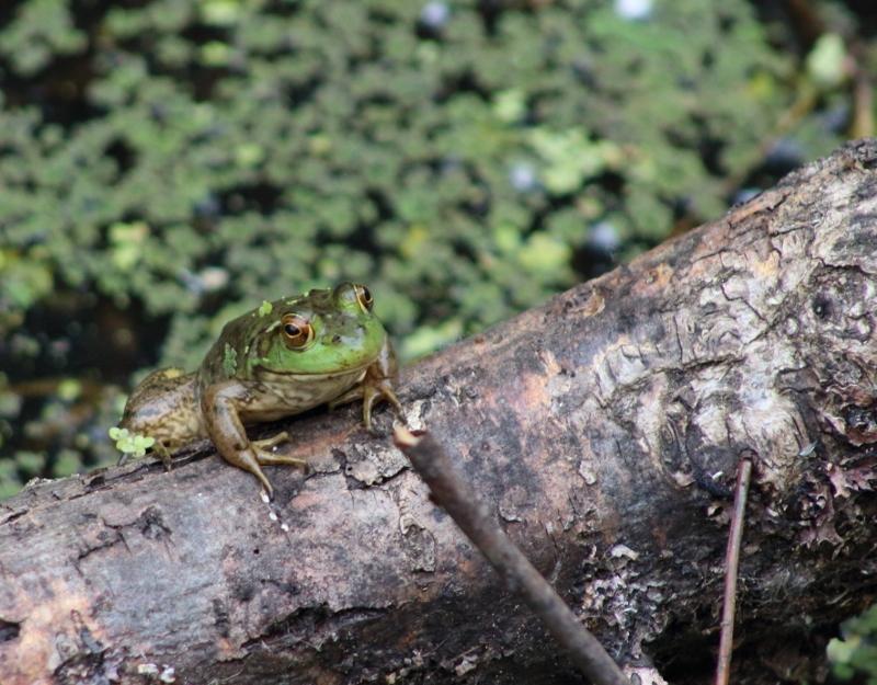 Bullfrog at Nisqually Wildlife Refuge