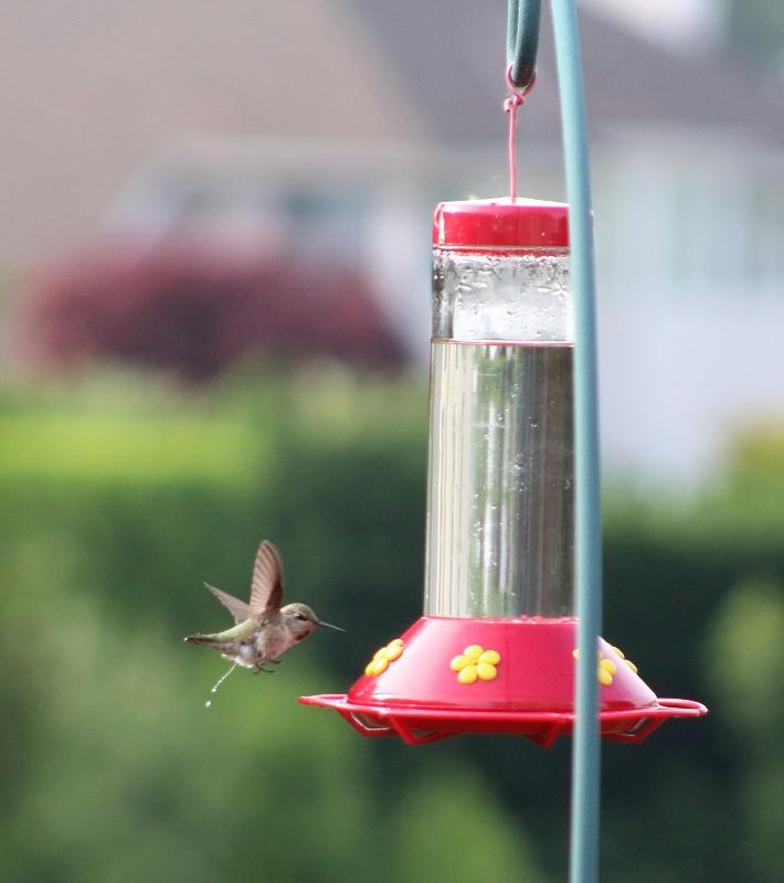 Hummingbird8 (710x800)