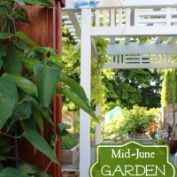 Mid-June in the Garden: Greens, Fragrant Flowers, Berries