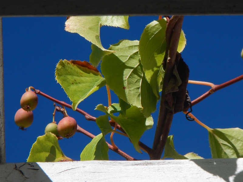 Kiwis ripening on an arbor