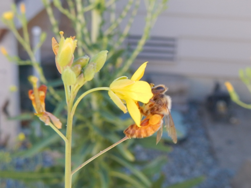 Bee in bolted arugula