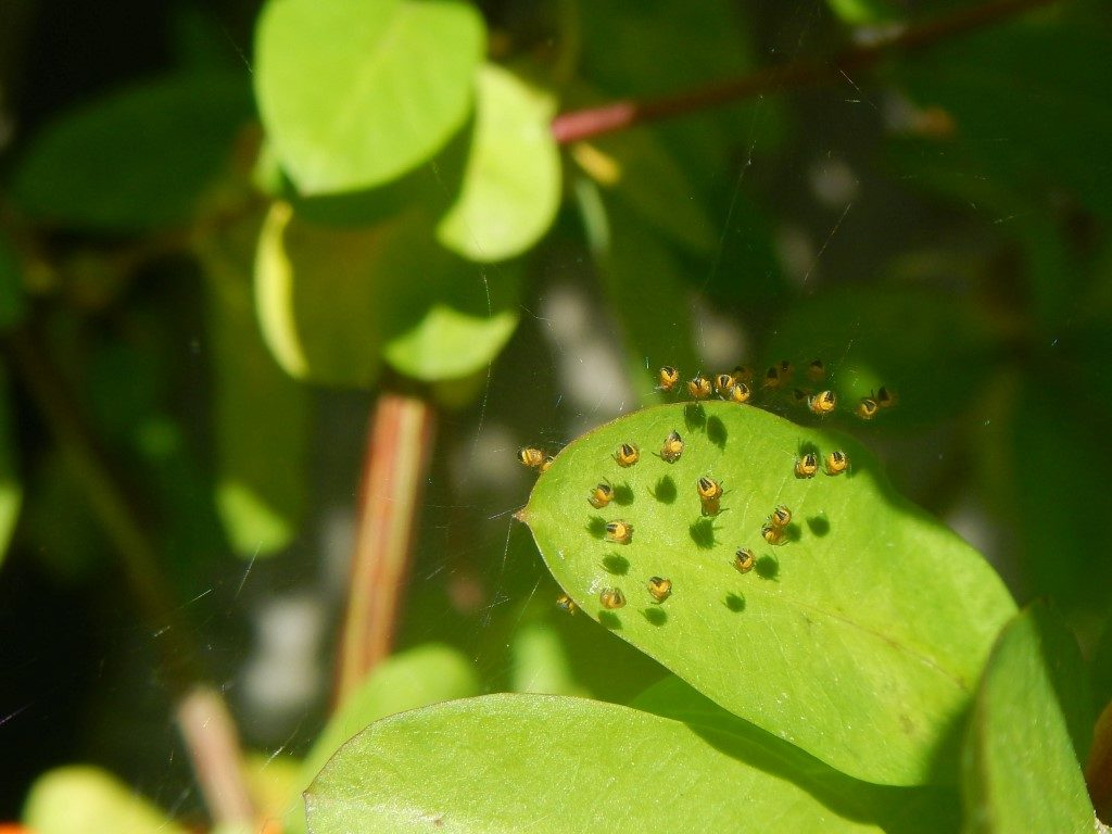 Baby Yellow Garden Spiders