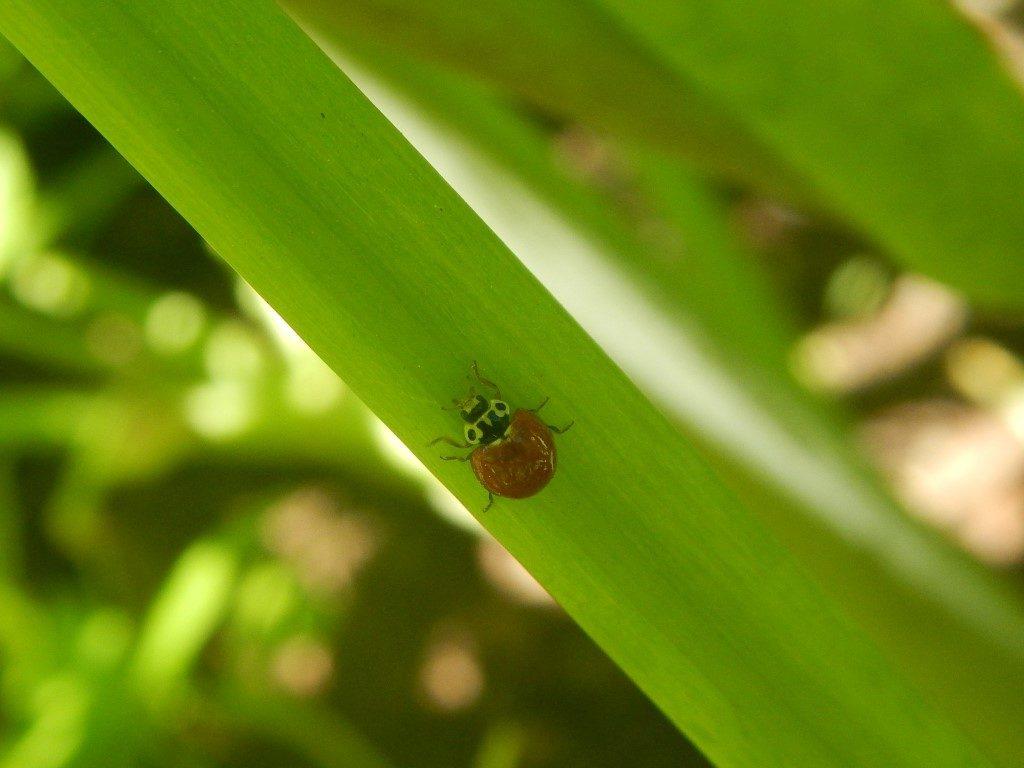 Ladybug on Angelica