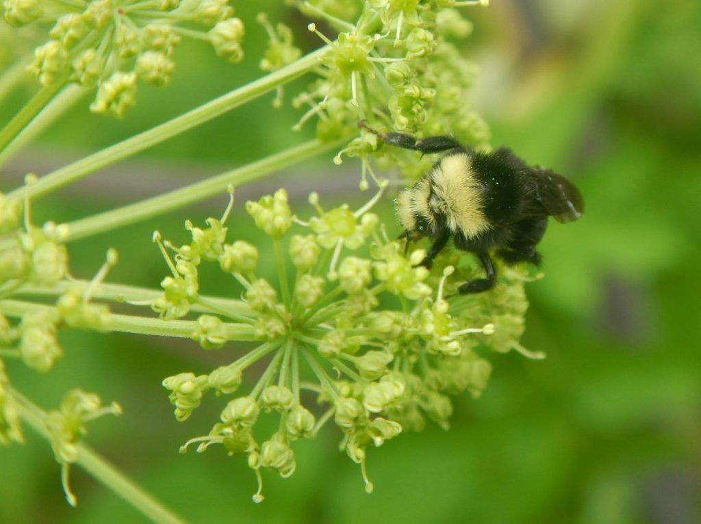 Bee on Angelica