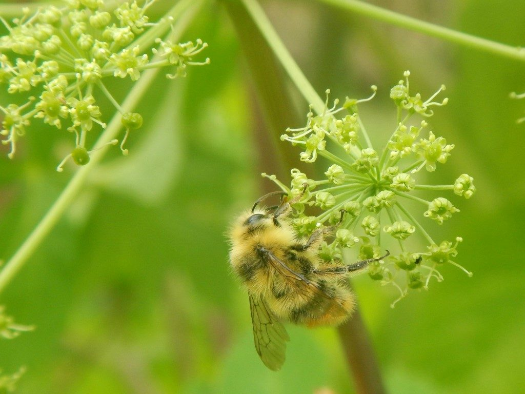 Bumble Bee Attracted to Angelica