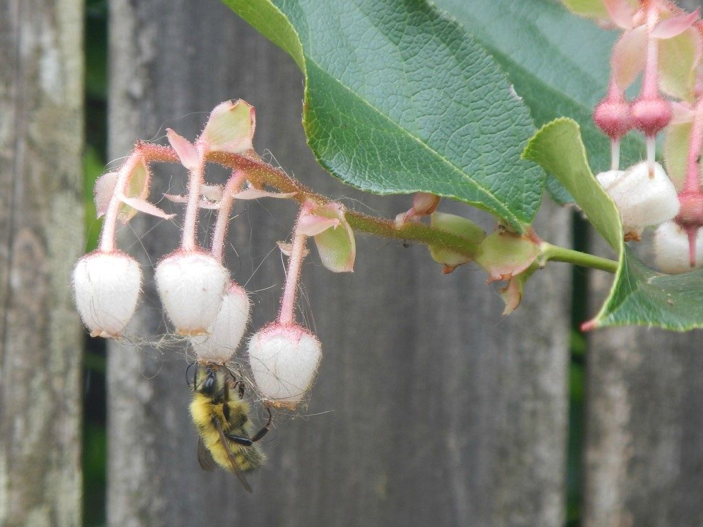 Bee in Salal