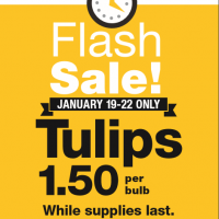 Fred Meyer & QFC Flash Sale: $1.50 Pick-your-own Tulip Bulbs (1/19 – 1/22)
