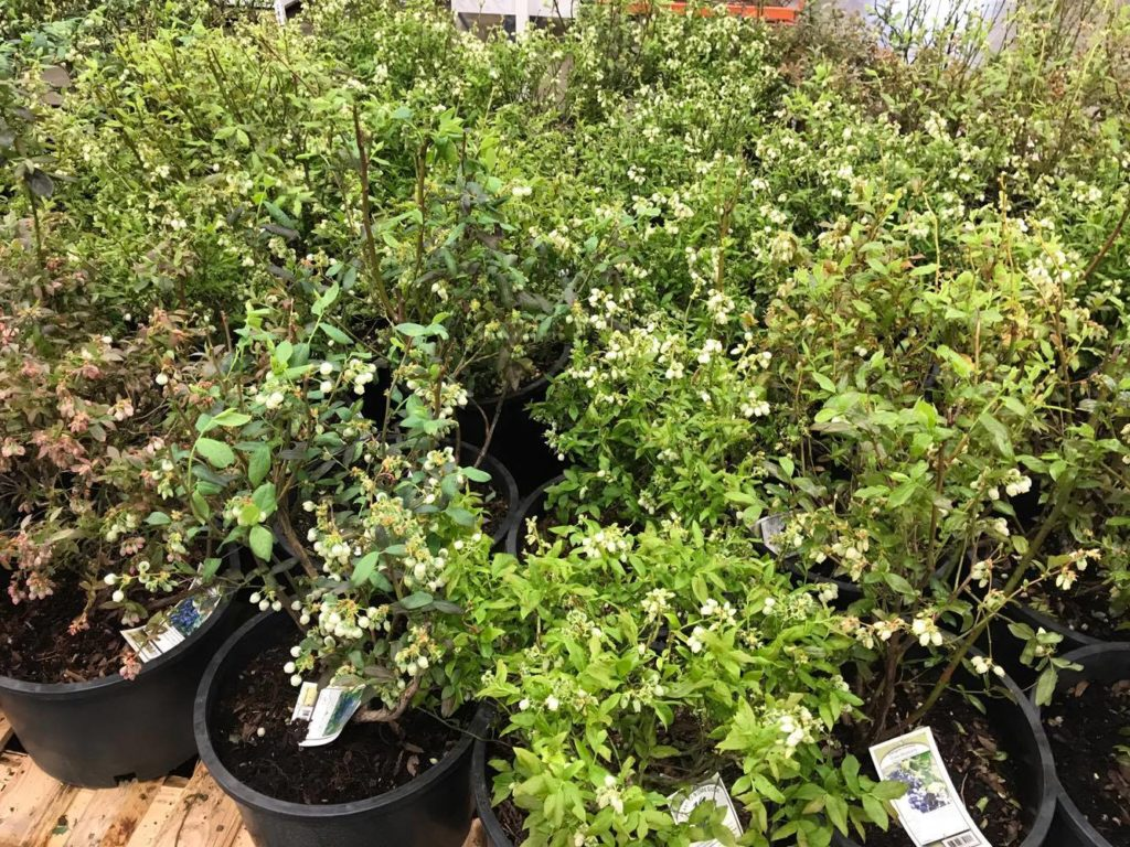 Blueberry Bushes at Costco