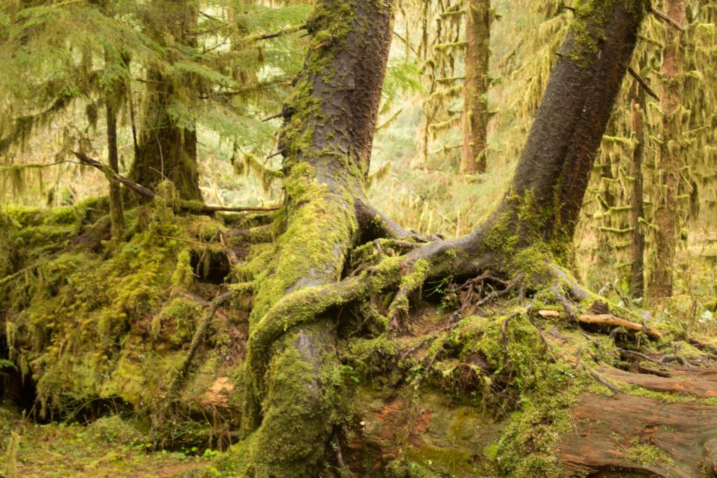 Trees at Hoh Rain Forest