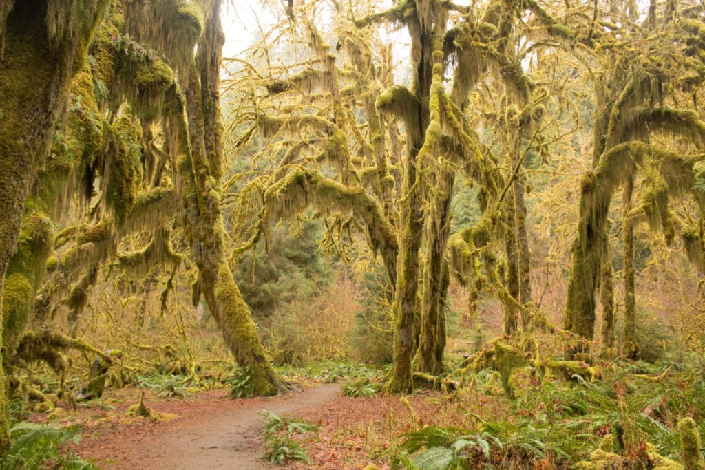 Moss Covered Cedar Trees at Hoh Rain Forest