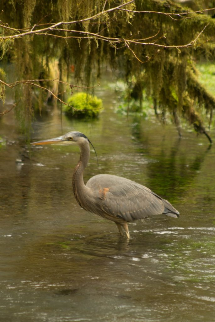 Heron at Hoh Rain Forest
